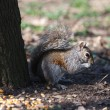 Squirrel — Stock Photo #41559845