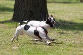 Bulldog francés — Foto de Stock