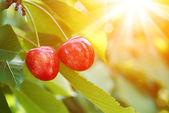 Ripe cherry on a green branch in sunlight — Foto de Stock