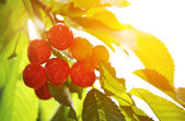 Ripe cherry on a green branch in sunlight — Stock Photo