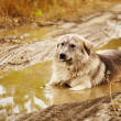 Dog lying in puddle — Stock Photo #13768888