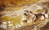 Dog lying in a puddle — Stock Photo