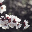 Cherry branch, backlit against the hurdle fences — Stock Video