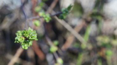 Young leaves of a cherry on a background of land in DEFOCUS — Stock Video