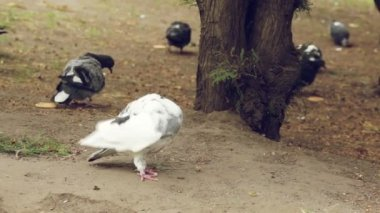 White dove among pigeons in the dark looking for food — Stock Video