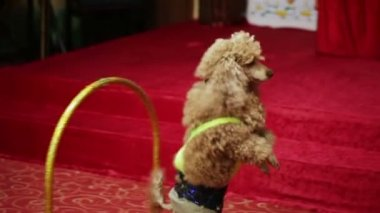 Poodle passes through arches — Stock Video