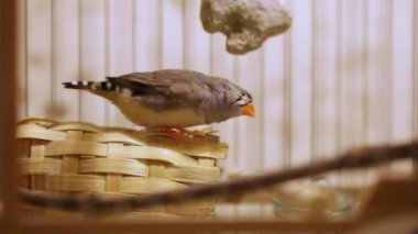 Finch in a cage — Stock Video