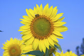 Sunflower against the azure sky, close-up — Stock Photo