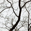 Bare tree on the overcast sky background — Stock Photo
