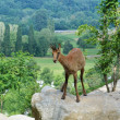 Pyrenean chamois in summer mountains - Stock Photo