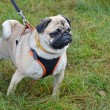Stock Photo: Pug on leash