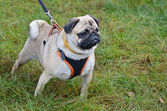 Pug on the leash — Stock Photo