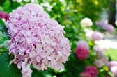 Close-up of the hortensia flowering — Stock Photo