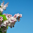 Panicle of lilac against the blue sky - Stock Photo