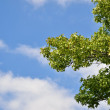 Summer sky and green branches of maple — Stock Photo