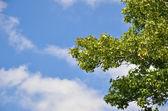 Letní oblohy a zelené větve javor — Stock fotografie