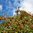 Stock Photo: Mature apple tree
