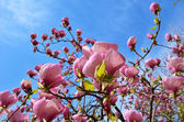 Flowering tree of magnolia — Stock Photo