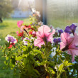 Petunia flowers in the country yard — Stock Photo