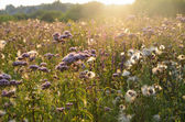 Close-up of summer meadow in sunset — Stock Photo