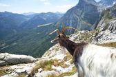 Goat — Foto de Stock