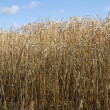 Stock Photo: Old crop field
