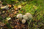 Common Puffball - Lycoperdon perlatum — Stock Photo