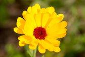 Yellow English marigolds(Calendula officinalis) — Stock Photo