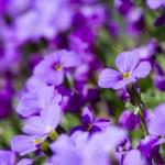 Постер, плакат: Violet flower