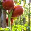 Homegrown organic tomatoes — Stock Photo #14069094