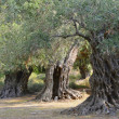 Ancient olive trees — Stock Photo #42901489