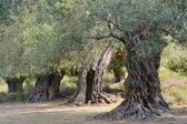 Ancient olive trees — Stock Photo