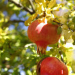 Pomegranate tree - Stock Photo