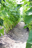 Close-up shot of grapevines — Stock Photo