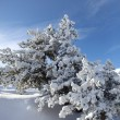 Snowy trees on a summers day — Stockfoto