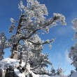 Snow topped trees — Stockfoto