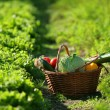 Basket full of vegetables - Foto de Stock  