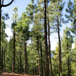 Stock Photo: Pine forest