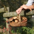 Stock Photo: Gathering chestnuts and mushrooms in forest
