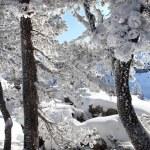 Snow on trees — Stock Photo