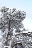 Snow-covered branches — Stock Photo