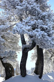 Scenic snow covered trees — Stock Photo