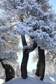 Malowniczych, ośnieżonych drzew — Zdjęcie stockowe