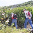 Stock Photo: Couple hiking through vineyard
