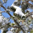 Snow-covered branches — Stockfoto