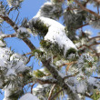 Stock Photo: Snow-covered branches