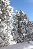 Karlı ağaçların — Stok fotoğraf