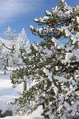 Los árboles cargados de nieve — Foto de Stock