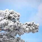 枝上の雪します。 — ストック写真