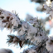 Snow on a pine branch — Stock Photo